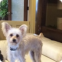 Adopt A Pet :: Daisy - Vaudreuil-Dorion, QC