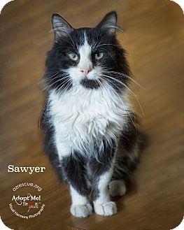 Domestic Longhair Cat for adoption in Phoenix, Arizona - Sawyer