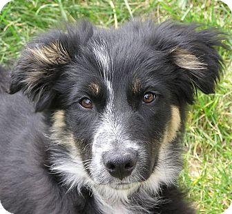 Border Collie/Australian Shepherd Mix Puppy for adoption in Nampa, Idaho - JENNI **video!**