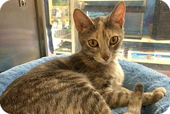 Domestic Shorthair Cat for adoption in Byron Center, Michigan - Bunny