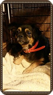 Cavalier King Charles Spaniel/Chihuahua Mix Dog for adoption in East Hartford, Connecticut - Cassie