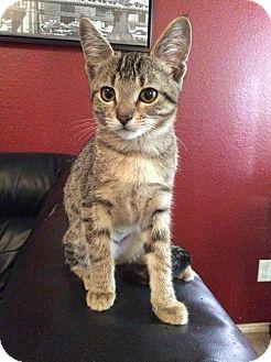 Domestic Shorthair Kitten for adoption in Mansfield, Texas - Pixie