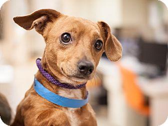 Dachshund Mix Dog for adoption in Dallas, Texas - Rocket