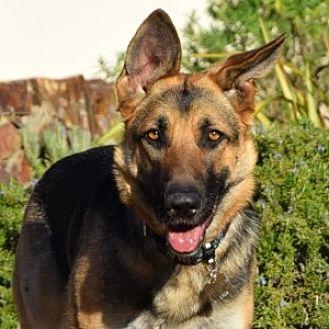 German Shepherd Dog Dog for adoption in San Diego, California - Teagan