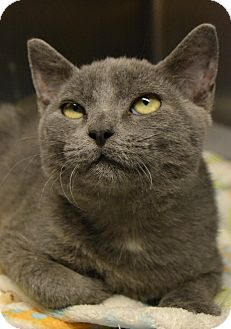 Russian Blue Cat for adoption in Beaumont, Texas - Mordecai