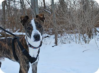 Greyhound Mix Dog for adoption in New Castle, Pennsylvania - Paco