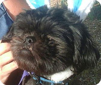 Shih Tzu Mix Dog for adoption in Phoenix, Arizona - GIZMO       =)