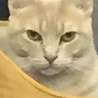 Domestic Shorthair Kitten for adoption in Island Park, New York - Ripley