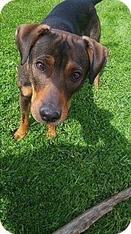 American Pit Bull Terrier/Doberman Pinscher Mix Dog for adoption in Colville, Washington - EmmyLou