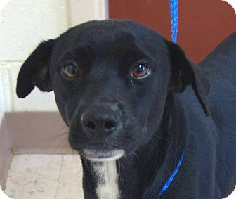 Labrador Retriever Mix Dog for adoption in McDonough, Georgia - Muppet