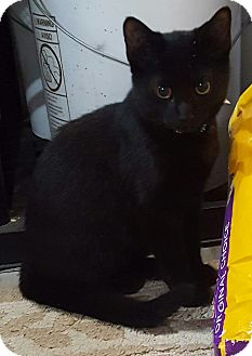 Domestic Shorthair Kitten for adoption in Port Huron, Michigan - JuJu