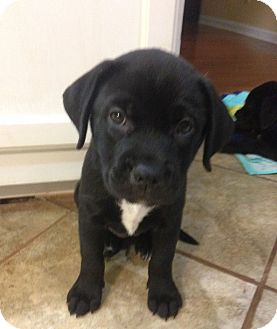 Labrador Retriever Mix Puppy for adoption in Knoxville, Tennessee - Lilly