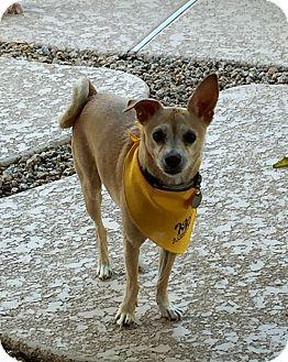 Miniature Pinscher/Chihuahua Mix Dog for adoption in Phoenix, Arizona - Chester