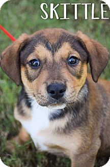 Beagle Mix Puppy for adoption in DFW, Texas - Skittle