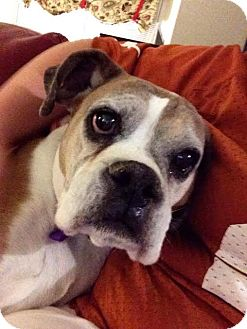 Boxer Mix Dog for adoption in Las Vegas, Nevada - Daisy