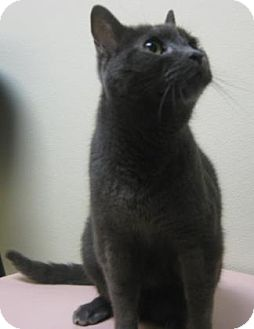 Domestic Shorthair Cat for adoption in Gary, Indiana - Little Foot