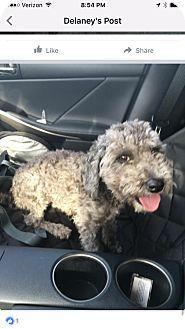 Poodle (Miniature) Mix Dog for adoption in Thousand Oaks, California - Capone