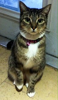 Domestic Shorthair Cat for adoption in Tampa, Florida - Sully