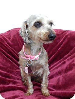 Schnauzer (Miniature)/Dachshund Mix Dog for adoption in Fort Atkinson, Wisconsin - Elizabeth
