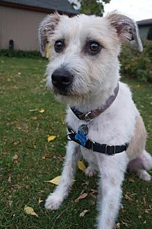 Terrier (Unknown Type, Medium) Mix Dog for adoption in Shakopee, Minnesota - Nobby D1443