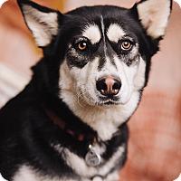 Adopt A Pet :: Shakira - Portland, OR