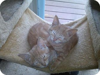 Domestic Shorthair Kitten for adoption in Trenton, New Jersey - Fred and George Weasley (LZ)