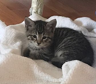 Domestic Shorthair Kitten for adoption in River Edge, New Jersey - Lucy