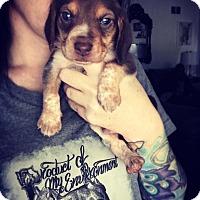Adopt A Pet :: Stan - Virginia Beach, VA