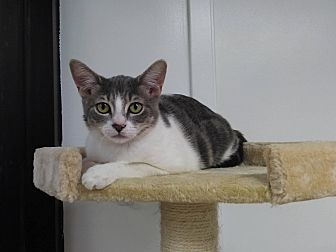 Domestic Shorthair Kitten for adoption in Brandon, Florida - Sitka