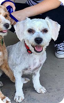 Cockapoo/Poodle (Miniature) Mix Dog for adoption in Litchfield Park, Arizona - Fred