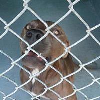 Adopt A Pet :: Beast - Waycross, GA
