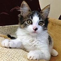Adopt A Pet :: Kitten Mickey - Seal Beach, CA