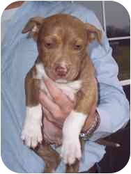 Pit Bull Terrier Mix Puppy for adoption in Carrollton, Texas - Toots
