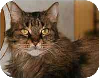 Domestic Longhair Cat for adoption in Walker, Michigan - KiKi