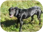 Labrador Retriever Mix Puppy for adoption in Bowie, Maryland - RIDDLE