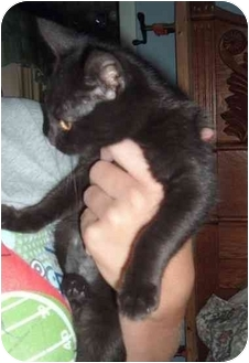 Domestic Shorthair Kitten for adoption in Troy, Ohio - Bailey