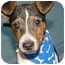 Photo 2 - Feist Puppy for adoption in Hartford, Connecticut - Levi