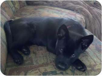 Shepherd (Unknown Type)/Labrador Retriever Mix Puppy for adoption in Bellingham, Washington - Nakita