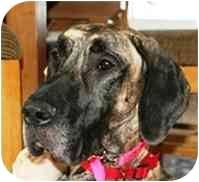 Great Dane Dog for adoption in York, Pennsylvania - SADIE