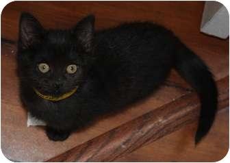 Domestic Shorthair Kitten for adoption in Union, Kentucky - Footsie