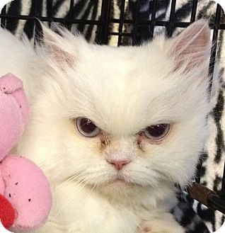 Persian Cat for adoption in Beverly Hills, California - Ava