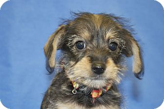 Terrier (Unknown Type, Small) Mix Puppy for adoption in Broomfield, Colorado - Helena