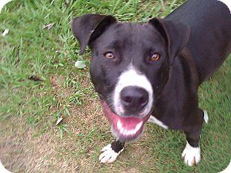 American Staffordshire Terrier/Labrador Retriever Mix Dog for adoption in Lynnville, Tennessee - Savannah