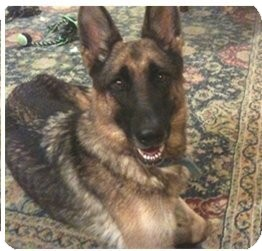 German Shepherd Dog Dog for adoption in Houston, Texas - Baylor