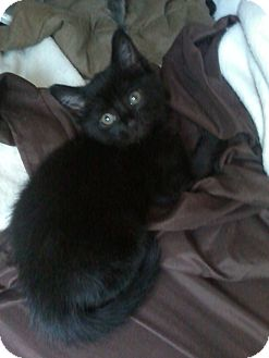 Domestic Shorthair Kitten for adoption in Worcester, Massachusetts - Nugget - Kitten