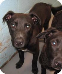 Labrador Retriever/Australian Cattle Dog Mix Dog for adoption in Stillwater, Oklahoma - Barney