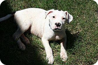 Pit Bull Terrier Mix Puppy for adoption in Dallas, Texas - Mischief