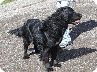 Golden Retriever/Labrador Retriever Mix Dog for adoption in Cedaredge, Colorado - Elvis