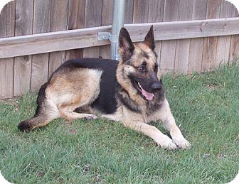 German Shepherd Dog Dog for adoption in Dripping Springs, Texas - Whisper