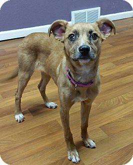 Australian Shepherd Mix Puppy for adoption in Lisbon, Ohio - Lamb Chop
